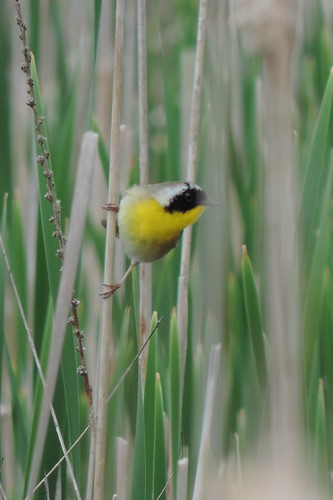 #68 Common yellowthroat (Geothlypis trichas)