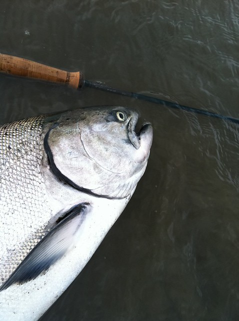 Chinook report from jay nicholas in tillamook bay the for Tillamook fishing report