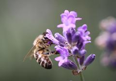 Bee, Brussels, Belgium