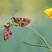 Fritillary Butterflies