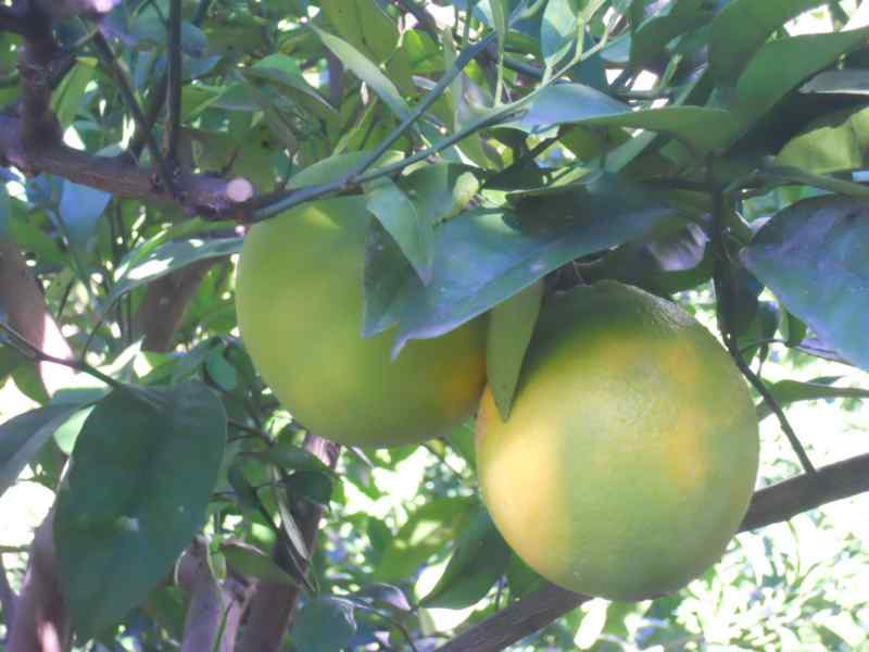 Citrus sinensis 'Newhall' 1