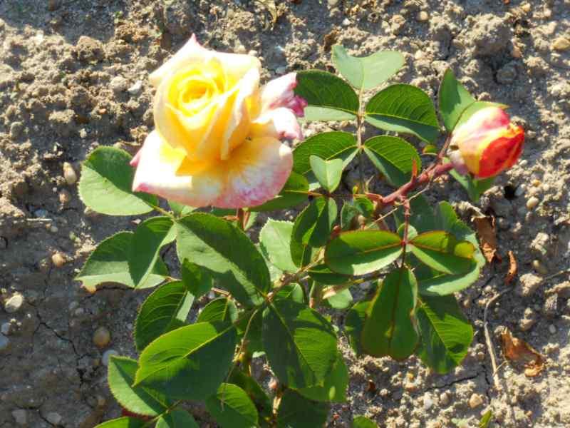 Rosa grandiflora 'Antigone' 2