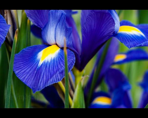iris usa flower macro sc spring blossom conway southcarolina petal bloom sigma150mmf28exapodghsmmacro