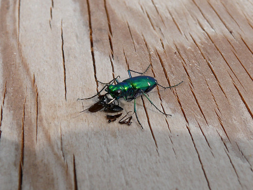 Six-Spotted Tiger Beetle Feasting