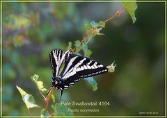 pale swallowtail Colorado butterfly photography by Ron Birrell;  zion 060812 DSC_4164 1100