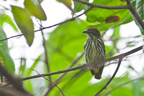 Yellow-vented Flowerpecker