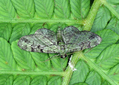1860 Green Pug - Pasiphila rectangulata