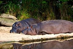Sleeping Hippos #2