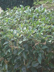 flower(0.0), produce(0.0), fruit(0.0), food(0.0), evergreen(1.0), shrub(1.0), leaf(1.0), tree(1.0), plant(1.0), bay laurel(1.0),