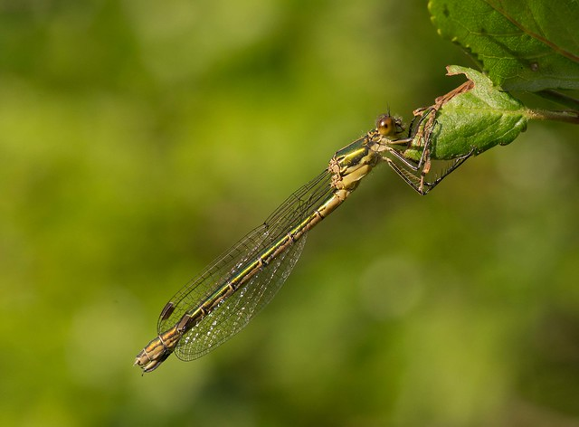 female scarce emerald 5