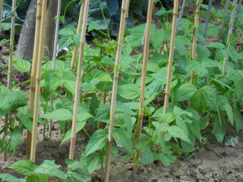 Phaseolus vulgaris 3