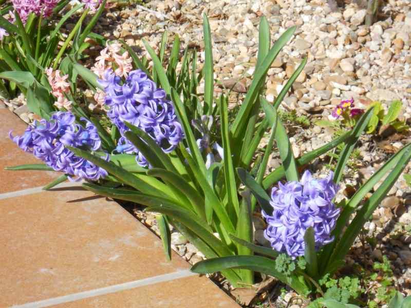 Hyacinthus 'Delf Blue' 1