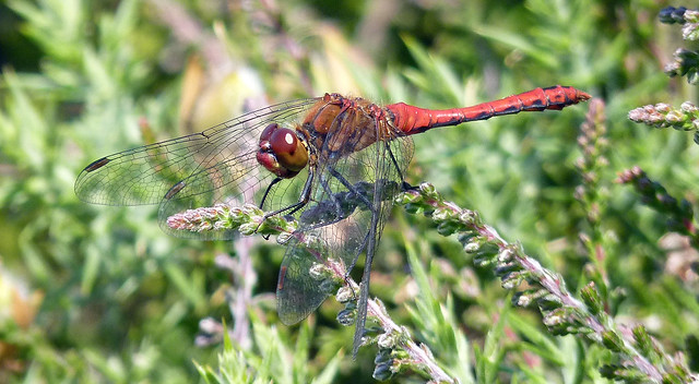 Male Ruddy Darter