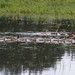 Canada Geese and Goslings by jimculp@live.com / ProRallyPix