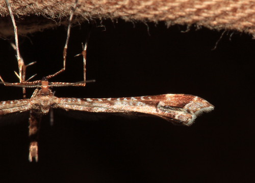 Brown Plume Moth 30063