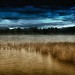 Winter afternoon, Lake Burley Griffin reedbeds, Canberra. Australia.  ©2011