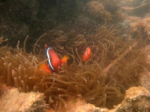 Tomato clown anemonefish