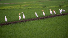 A Family of young Herons in the Rice Paddies