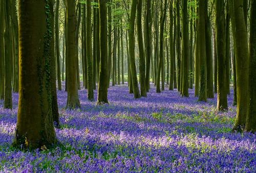 Carpet of Blue