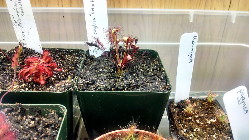 Drosera anglica CA x HI in late June 2014