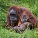 Jersey - Sumatran Orangutan With Baby 1