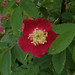 Small photo of Alloway - Roses
