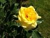 Laurel's Rose - First Bloom