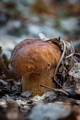 Porcini mushroom (Boletus edulis)  in the forest