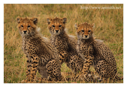 Cheetah Cubs Closeup 2 of 2, Masai Mara 16-10-10