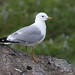 Stormmáfur (Larus canus) - Common Gull