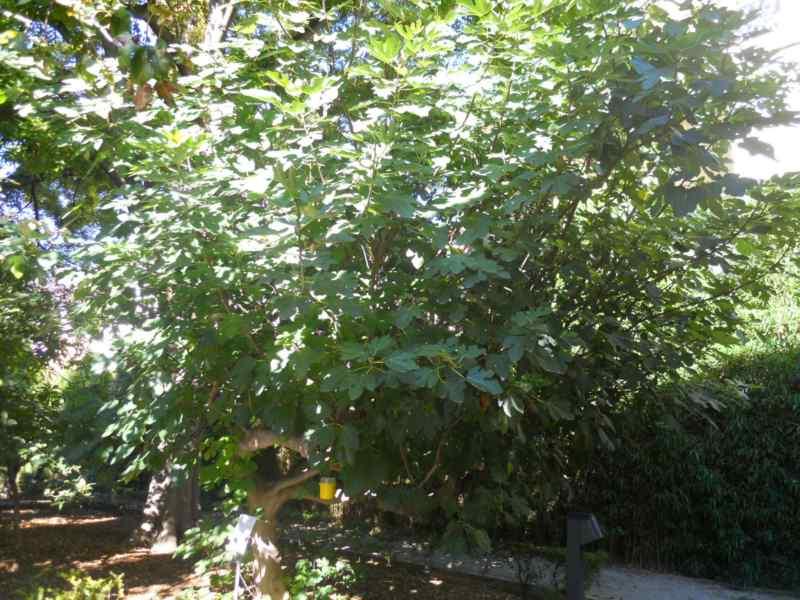 Ficus carica 'Napolitana' 1