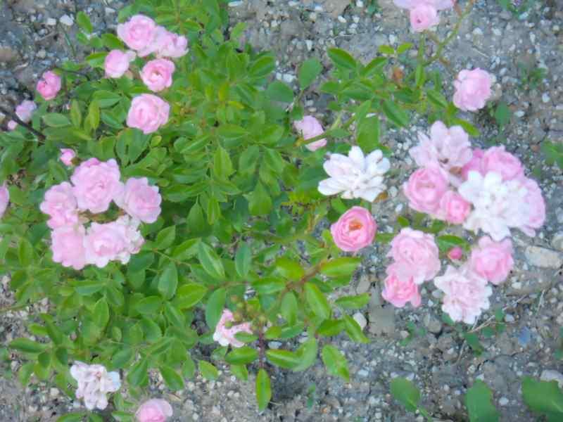 Rosal miniatura 2