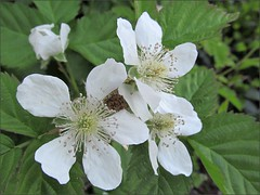 Marionberry blossoms