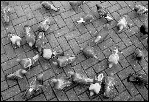 Feral Rock Pigeon
