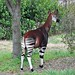 The Okapi by retrorocketrick
