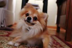 dog breed, animal, german spitz klein, dog, pet, german spitz, tibetan spaniel, german spitz mittel, carnivoran, pomeranian,