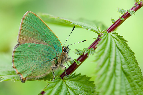 GREENHAIRSTREAK 2012  #1