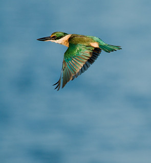 Kingfisher mid flight