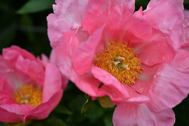 Paeonia 'Eventide' (herbaceous peony) in the Plant Family Collection. Photo by Morrigan McCarthy.