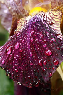 petale d'Iris 'Frivolite'