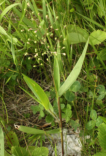 Deer-Tongue Grass
