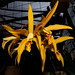 Small photo of Laelia cinnabarina x Cattleya forbesii