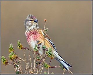 Linnet, Norfolk
