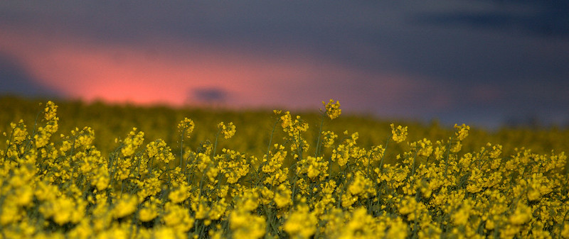A field of rapeseed.