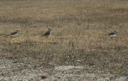 Killdeer at the Manitoulin Airport