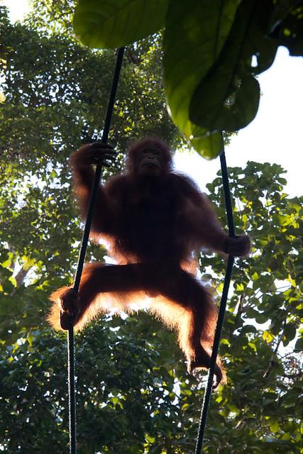 Sadam the orangutan