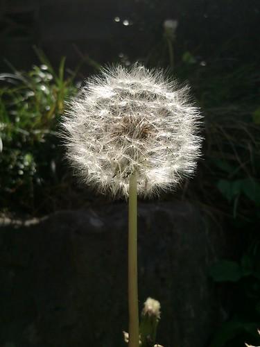 [S51SE]タンポポの綿毛