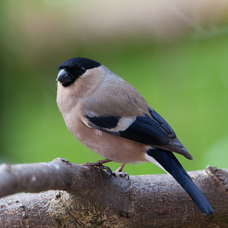 Bull Finch (Female)