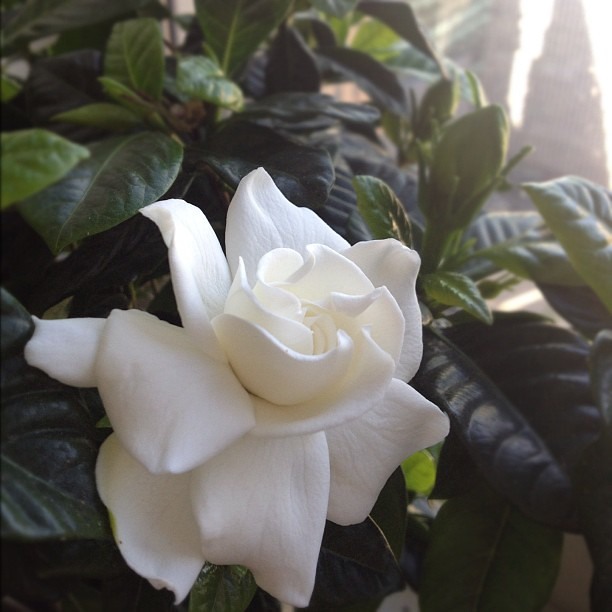 生日清晨, 栀子花開。morning of birthday, a blossom from my gardenia.