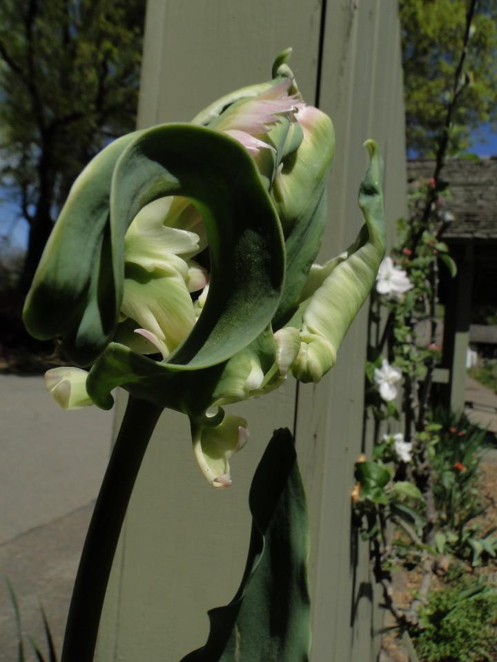 77-21apr12_3643_Botanical_garden_tulip